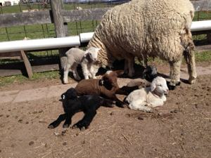 Ponder's quads plus a visiting lamb